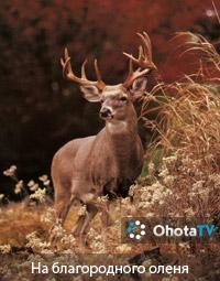 Охота на благородного оленя - Ютуб видео...