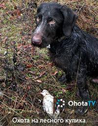 Охота на лесного кулика   вальдшнепа с собакой