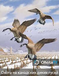 Охота на канадских диких гусей на озере Онтариo
