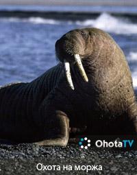 Охота на моржа в провинции Нунавут