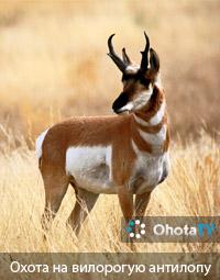 Охота на вилорогую антилопу в Южной Альберте