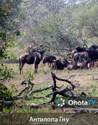 Антилопа Гну. Африканское сафари