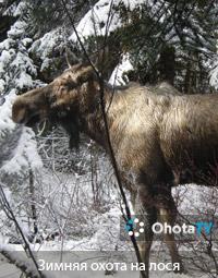 Охота на лося в Вологодской области