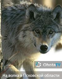 Охота на волка в Псковской области
