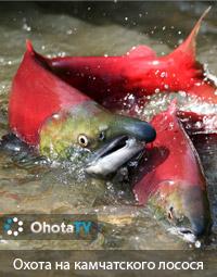Подводная охота на камчатского лосося