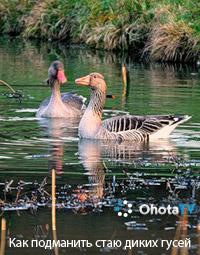 Как подманить стаю диких гусей