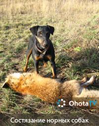 Состязания норных собак