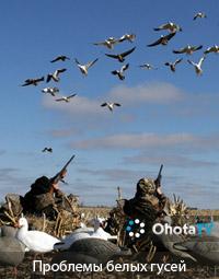 Проблемы белых гусей и охота на них