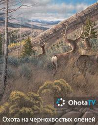 Охота на чернохвостых оленей