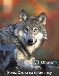 Волк. Охота на приманку