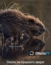 Охота на пушного зверя в Вологодской области