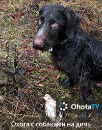 Охота с собаками на боровую и водоплавающую дичь