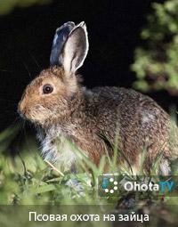 Псовая охота на зайца