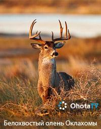 Белохвостый олень Оклахомы