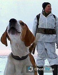Вологодская область. Охота с эстонскими гончими. Часть 1
