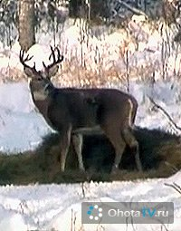 Охота зимой на белохвостого оленя