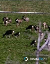 Охота на чернохвостого оленя