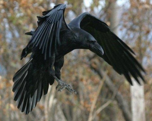 Главная охота. Охота на ворон