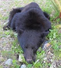 Охота на черного медведя в Альберте